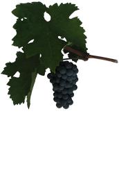 Winogrona Cabernet Sauvignon