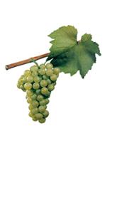 Winogrona Chardonnay