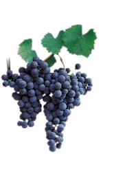 Winogrona Franconia