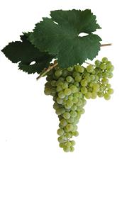 Winogrona Glera
