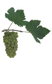Winogrona Pinot Bianco