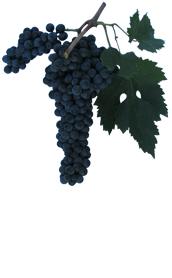 Winogrona Raboso veronese