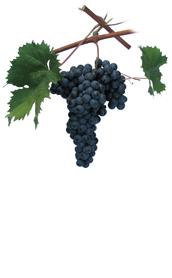 Winogrona Refosco dal peduncolo rosso