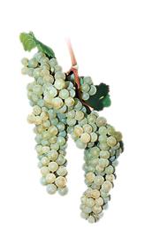 Winogrona Sauvignon