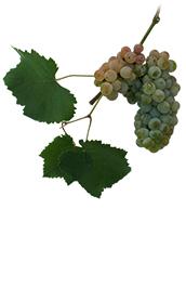 Winogrona Verduzzo friulano