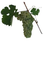 Winogrona Verduzzo trevigiano